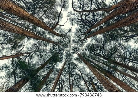 cedars trees forest  beautiful...