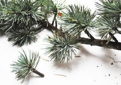 Cedrus atlantica- Atlas Cedar- needles -Botanical photography of woody plants