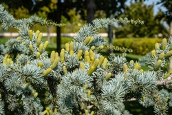 Cedrus Atlantica Glauca is a tree also known as Blue Atlas Cedar or Cedrus libani atlantica. Cones on branches with needle-like leaves. Blurred background. City Park