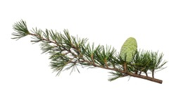 Cedrus deodara branch isolated on white background