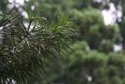 Cedrus deodara or Cedar Rose, Deodar Cedar