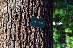 Cedrus Libani Tree Bark . Cedar of Lebanon Pine Tree . Information plate on the tree