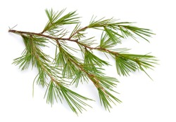 Cedrus or cedar isolated on white background.