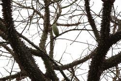 Ceiba speciosa. Thorny tree with thorns
