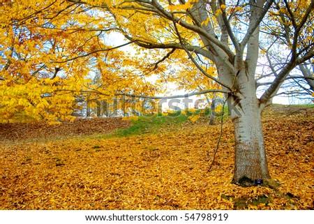 Ceitis in Autumn Yellow colour