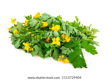 Celandine on white background #1113729404