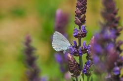 Celastrina argiolus, Holly Blue butterfly collecting nectar on meadow. Butterfly on wild flowers