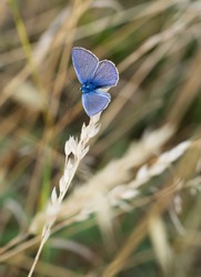 Celastrina argiolus in grassland. Holly blue butterfly.