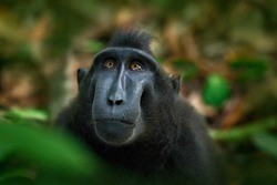 Celebes crested Macaque, detail portrait of black monkey, sitting in the nature habitat, dark tropical forest, wildlife from Asian Tangkoko on Sulawesi in Indonesia.