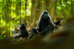 Celebes crested Macaque, Macaca nigra, sitting in the nature habitat, wildlife from Asia, nature of Tangkoko on Sulawesi, Indonesia. Rare animal in the forest. Monkey in dark forest. Animal tropic.