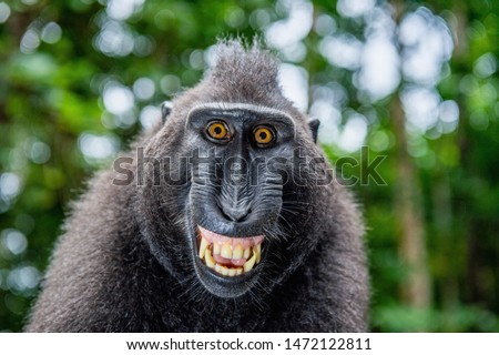 Photo of  Celebes crested macaque with open mouth. Close up portrait on the green natural background. Crested black macaque, Sulawesi crested macaque, or black ape. Natural habitat. Sulawesi Island. Indonesia