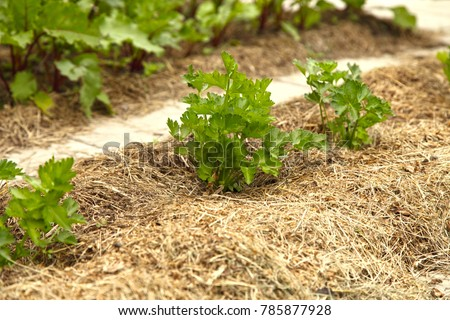 Celery grows in a garden under the open sky and is covered with mulch from dry grass. Growing vegetables with organic farming. #785877928