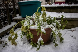 Celery left a little to long in a plant pot; Fresh winter snow on a green plant; Frozen vegetables; Ontario Canada