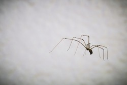 cellar spider against white background