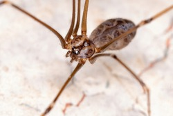 Cellar Spider of the Family Pholcidae