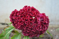 Celosia argentea var. cristata, known as cockscomb, is the cristate or crested variety of the species Celosia argentea. It was likely originally native to India. Annual plants of tropical origin.