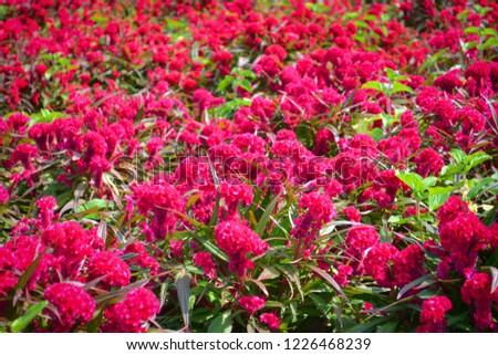 Celosia cristata red field flower garden colorful / beautiful flower field pink of Celosia cristata or cockscomb flower blossom summer garden  flower background