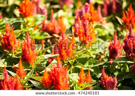 Celosia Plumosa plant in the botanical garden #474240181