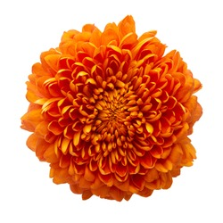 Cempasuchil orange flower on white background