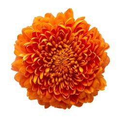 Cempasuchil orange flower on white background. Mexican flower