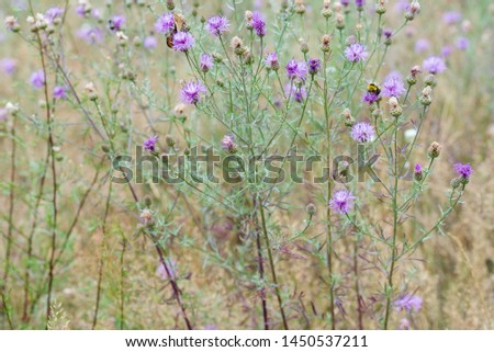 Centaurea scabiosa,  greater knapweed flowers in meadow