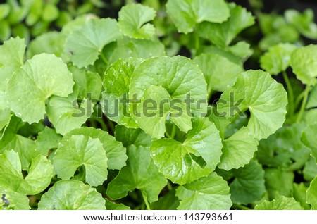 Centella asiatica, Asiatic Pennywort,(Centella asiatica (Linn.) Urban.) Stock fotó ©