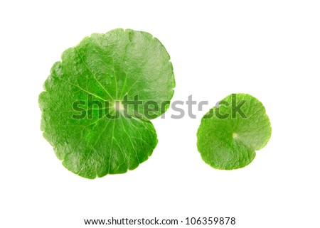 Centella asiatica with with A white background.