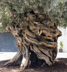 Centennial olive trunk