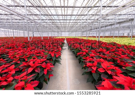Center aisle through large group of red Christmas poinsettia flowering plants. Horizontal holiday background.