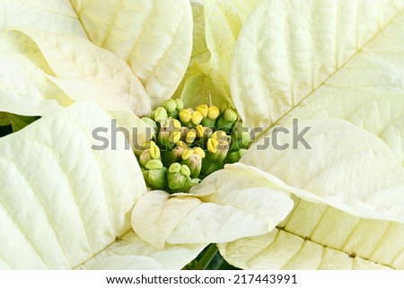Center of a beautiful white Christmas flower, Poinsettia.