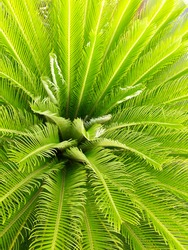Center of A Palm Tree with Green Spiky Sharp Leaves. The Top of Palm Tree Aerial View. Growing Leaves Background Texture. Top View of Green Nature Flora Palm Leaves. Natural Patterns Outdoor