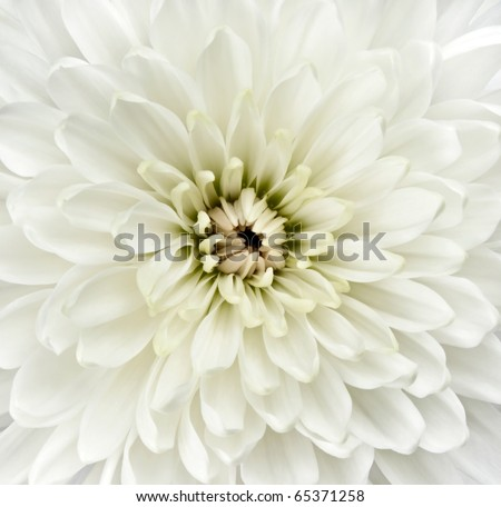 Center of White Dahlia Flower. Closeup Detail on Center of White Flowerhead