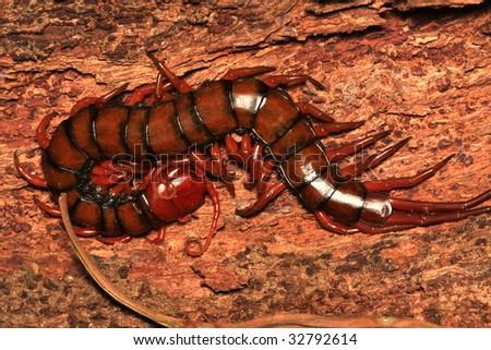 Centipede hiding in tree bark