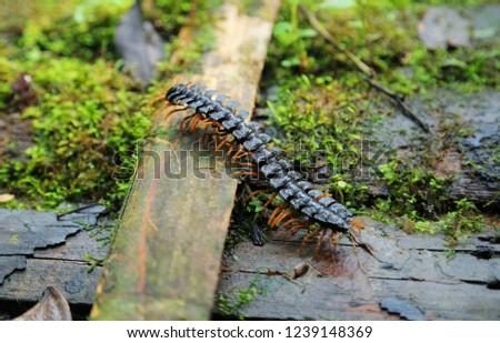 Centipede insect in Amazon jungle