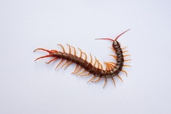 Centipede is a poisonous animal with many legs that can bite and release poison to enemies. It's on white background.