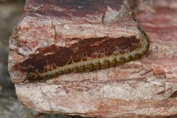 Centipede on a rock. Isolated closeup. Chilopoda