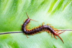 Centipedes are poisonous animals. Able to bite and release poison to enemies, it climbs on the leaves.