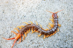 Centipedes are poisonous animals. Able to bite and release the poison, it climbs on the concrete floor