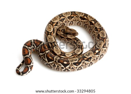Central American Boa (Boa constrictor imperator) isolated on white background.