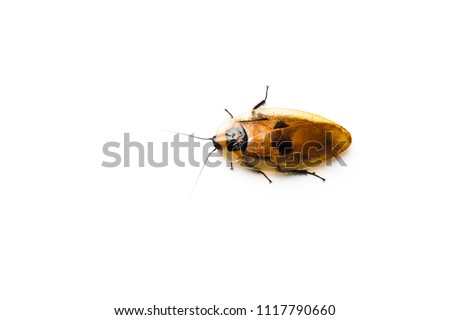 Central American giant cave cockroach isolated on white. (Blaberus giganteus). One of the largest cockroaches in the world.