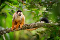 Central American squirrel monkey - Saimiri oerstedii also red-backed squirrel monkey, in the tropical forests of Central and South America in the canopy layer, orange back white and black face.