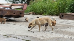 Central Asian Shepherd. Feral dogs on their territory. A mother with her puppies.