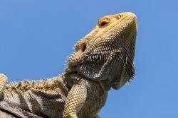 Central Bearded Dragon basking on a log