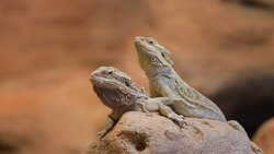 Central Bearded Dragon Pogona vitticep. Pair of lizards sitting on a dry rock in a desert environment