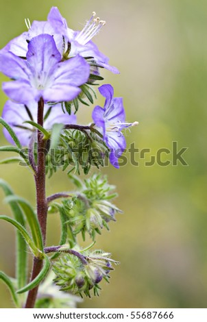 Central Oregon wildflower - Blue Phacelia distans - Wild heliotrope - Scorpionweed