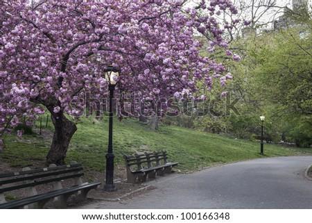 Central Park, New York City Prunus serrulata 'Kanzan' - Japanese Flowering Cherry