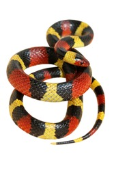 Central Plains Milk Snake on white back ground