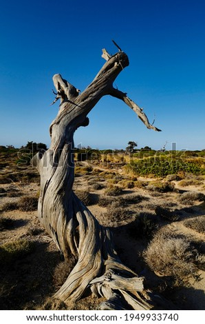 Centuries-old dead shrub on the small uninhabited island of Chrysī also called Chrissi or Gaidouronīsi about 7 miles south of Crete near Ierapetra in the Libyan Sea.