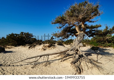 Centuries-old shrub of Juniperus oxycedrus on the small uninhabited island of Chrysī also called Chrissi or Gaidouronīsi about 7 miles south of Crete near Ierapetra in the Libyan Sea.
