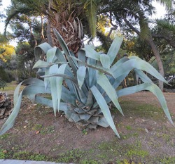 Century Plant: a species of Agave, also known as American agave, American and flowering aloe, sentry plant, maguey, it's botanical name is Agave americana.